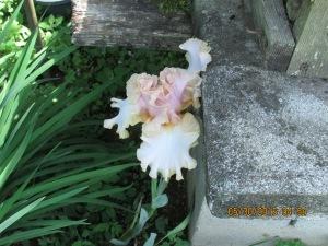 Beige & peach Iris