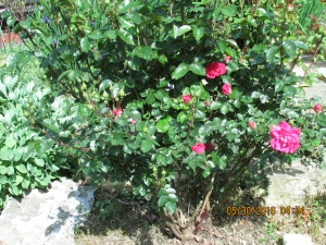 Two year old rose