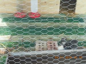 Victorias ducks and new hutch 042016 (6)