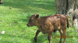 2016 (11)Big Herd cows calves