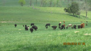 2016 spring herd grazing along.