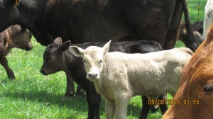 2016 (8)Big Herd cows calves