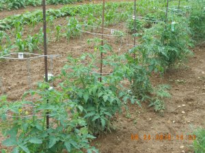 The tomatoes are blooming and full of little green tomatoes.
