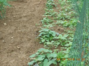 Last but not least are the sweet potatoes.  We have a dozen plants and they're spreading out.