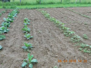 The sixth row is cabbage and 7th is brussel sprouts and at the end of that row are a few watermelons.