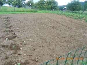 This space is empty for the moment but I will probably plant a couple more rows of corn and summer squash about mid-July.