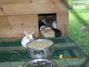 They have plenty of feed and I pull grass for them three times a day and more if they eat it up.