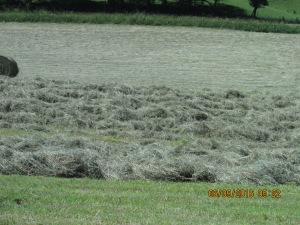 The spring rains brought us a heavy crop of orchard grass.