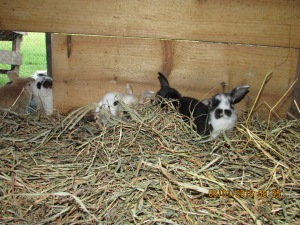 The hutch has an enclosed room with hay for them to eat or stay warm in.