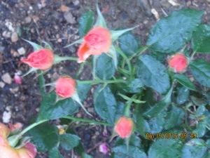 Peach rosebuds yet to unfold.