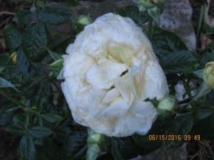 White rose at it's peak.