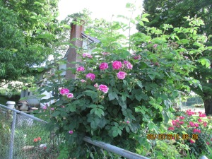 Old Timey Rose and no matter how much I cut it back it bushes out and full of blooms.