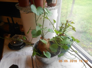 The sweet potatoe sets were started in my kitchen window.  I placed a large sweet potato in a large bowl and kept it full of water.  It soon sprouted and now they're in the ground.