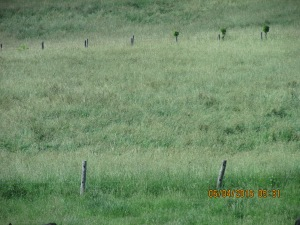 The orchard grass is over the backs of the whitetail deer.