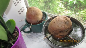I started our own sweet potatoes plants this year.