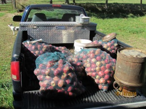Six bags of red delicious apples