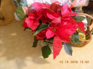 Another huge poinsettia and I'm going to try real hard to make them live until next December!  I know there's a trick to it but I haven't figured it out yet!
