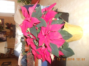 My son-in law came to visit with my daughter and he bought me this poinsettia and the leaves sparkled.  He included a card that made me misty and a gift card.