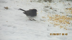 flocking-to-feeders-01092017-11