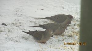 flocking-to-feeders-01092017-3