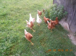 The brownish-red hens with white tail feathers are my babies from last year.  Great brown egg layers!