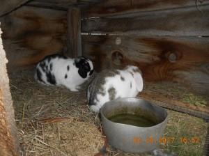 Rabbits bred